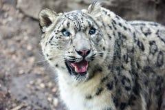 Snow Leopard Stock Photography