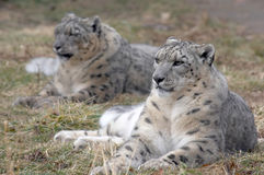Snow leopard pair. A pair of endangered snow leopards in a zoo Royalty Free Stock Image
