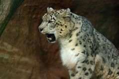 Snow leopard (Panthera uncia) Royalty Free Stock Photography