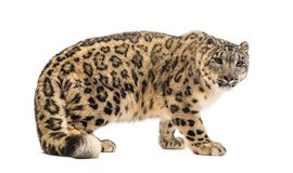 Free Snow Leopard, Panthera Uncia, Also Known As The Ounce Stock Photos - 161293203