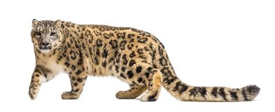 Free Snow Leopard, Panthera Uncia, Also Known As The Ounce Stock Photo - 161293220