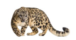 Free Snow Leopard, Panthera Uncia, Also Known As The Ounce Stock Photo - 161293250