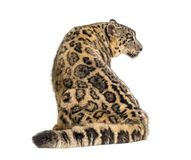 Free Snow Leopard, Panthera Uncia, Also Known As The Ounce Stock Image - 161293271