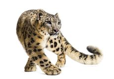 Free Snow Leopard, Panthera Uncia, Also Known As The Ounce Royalty Free Stock Images - 161293339