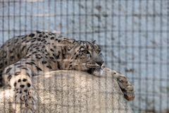 Snow leopard Panthera uncia. Found in the mountain ranges of China, Nepal and India Royalty Free Stock Photos