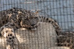Snow leopard Panthera uncia Stock Images