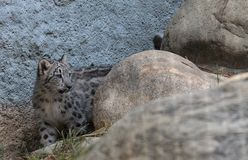 Snow leopard Panthera uncia. Found in the mountain ranges of China, Nepal and India Stock Photos
