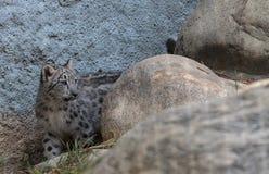 Snow leopard Panthera uncia Stock Photos