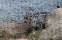 Snow leopard Panthera uncia. Found in the mountain ranges of China, Nepal and India Stock Photography