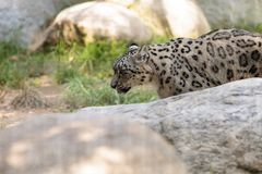 Snow leopard Panthera uncia. Found in the mountain ranges of China, Nepal and India Stock Photo