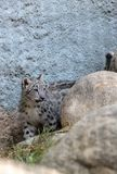 Snow leopard Panthera uncia. Found in the mountain ranges of China, Nepal and India Royalty Free Stock Photo