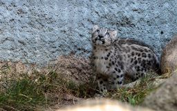 Snow leopard Panthera uncia Royalty Free Stock Images