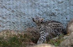 Snow leopard Panthera uncia Stock Photography