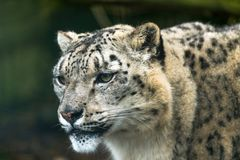 Snow leopard Panthera uncia. A large cat native to the mountain ranges of Central and South Asia Stock Photo