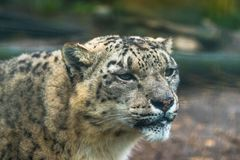 Snow leopard Panthera uncia. A large cat native to the mountain ranges of Central and South Asia Stock Images