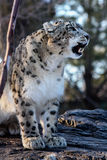 Snow Leopard (Panthera uncia). Male with tongue, captive Royalty Free Stock Images