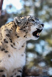 Snow Leopard (Panthera uncia). Male with tongue, captive Stock Photos