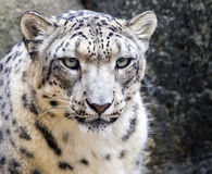 Snow leopard Panthera uncia portrait. Close portrait of a snow leopard Panthera uncia Royalty Free Stock Photography