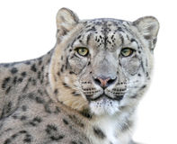 Snow leopard Panthera uncia, portrait. Snow Leopard, portrait with white background Royalty Free Stock Photography