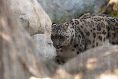 Snow leopard Panthera uncia. Found in the mountain ranges of China, Nepal and India Stock Images