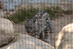 Snow leopard Panthera uncia. Found in the mountain ranges of China, Nepal and India Stock Image