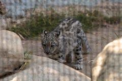 Snow leopard Panthera uncia Stock Image