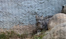 Snow leopard Panthera uncia Royalty Free Stock Image