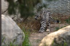 Snow leopard Panthera uncia Stock Photo