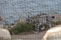 Snow leopard Panthera uncia. Found in the mountain ranges of China, Nepal and India Royalty Free Stock Images