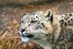 Snow leopard Panthera uncia. A large cat native to the mountain ranges of Central and South Asia Stock Image