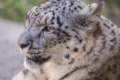 Snow leopard - Panthera uncia or Uncia uncia Royalty Free Stock Images