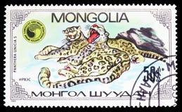 Snow Leopard Panthera Uncia, Panthera Uncias seria około 1985, obrazy stock