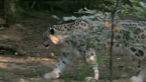 Snow leopard (Panthera uncia) walking in the forest. Listed as endangered on the IUCN Red List of Threatened Species.  National Heritage Animal of Afghanistan stock video