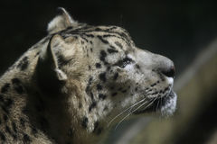 Snow leopard (Panthera uncia). Royalty Free Stock Image
