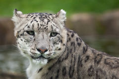 Snow leopard Panthera uncia. Royalty Free Stock Photography