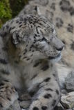 Snow Leopard / Panthera Uncia Stock Photography