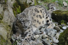 Snow Leopard / Panthera Uncia Stock Images