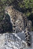 Snow leopard panthera uncial in zoo stock photo