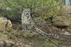 Snow Leopard - Pantheria uncia Stock Images