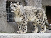Snow leopard in park outdoors Royalty Free Stock Photography