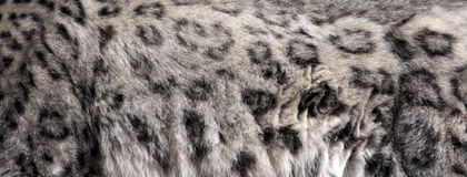 Snow Leopard Pelt Royalty Free Stock Photography