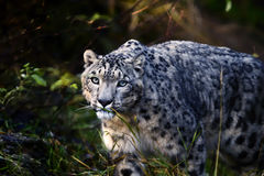 Snow leopard portrait. Snow leopard looking at you Royalty Free Stock Image