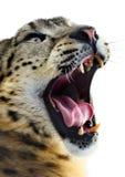 Snow leopard portrait Royalty Free Stock Photos