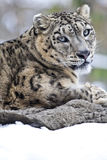 Snow leopard portrait Royalty Free Stock Photography