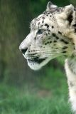Snow Leopard Portrait. Portrait of a snow Leopard looking left royalty free stock photos