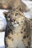 Snow Leopard Portrait. In Snow Stock Images