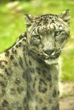 Snow leopard portrait of an animal stock photo