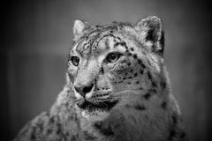 Snow leopard portrait. Black & white Royalty Free Stock Photography