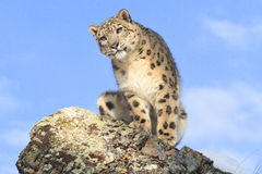 Snow leopard portrait Royalty Free Stock Images