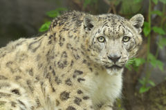 Snow Leopard Portrait Stock Photo